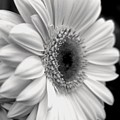 Gerbera Daisy by Natasha Sweetapple