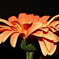 Gerbera Daisy On Black by Linda Bianic