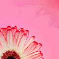 Gerbera Pink by Mark Rogan