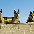 German Shephard Military Working Dogs by Stocktrek Images
