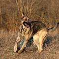 German Shepherd 1 by David Dunham