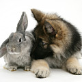 German Shepherd And Rabbit by Mark Taylor