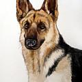 German Shepherd by Christopher Shellhammer