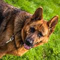German Shepherd Heidi Profile by Blake Webster