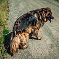 German Shepherd On Trail by Blake Webster