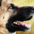 German Shepherd Portrait by Smart Aviation