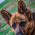 German Shepherd Profile by Blake Webster