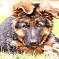 German Shepherd Puppy by Danielle Sigmon