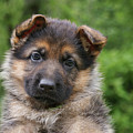 German Shepherd Puppy IIi by Sandy Keeton