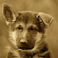 German Shepherd Puppy In Sepia by Sandy Keeton