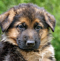 German Shepherd Puppy by Sandy Keeton