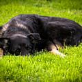 German Shepherd Sleeping by Blake Webster