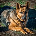 German Shepherd Sonoma Coast by Blake Webster