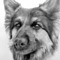 German Shepherd by Susan Tilley