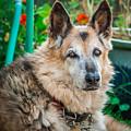 German Shepherd Woody Profile by Blake Webster