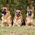 German Shepherds - Family Portrait by Sandy Keeton