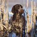 German Shorthair On Point -  D000897 by Daniel Dempster