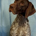 German Shorthaired Pointer 129 by Larry Matthews