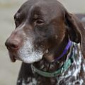 German Shorthaired Pointer Dog by DejaVu Designs