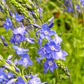 Germander Speedwell by Cynthia Woods