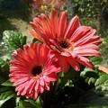 Gerberas In Coral Pink 2 by Joan-Violet Stretch