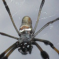 Getting To Know A Golden Orb Weaver by Kimberly Mohlenhoff