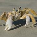 Ghost Crab by Bradford Martin