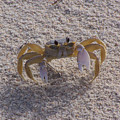 Ghost Crab by Terry Adamick