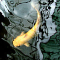 Ghost Koi Carp Fish by Heather Lennox