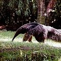 Giant Anteater by Jan Amiss Photography
