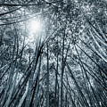 Giant Bamboo In Forest With Sunflare, Black And White by Ruurd Dankloff