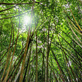 Giant Bamboo In Forest With Sunflare by Ruurd Dankloff