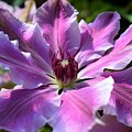 Giant Clematis by Jimmy Chuck Smith