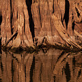 Giant Cypress Tree Trunk And Reflection by Bob Phillips