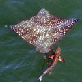 Giant Eagle Ray by Bill Perry