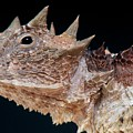 Giant Horned Lizard by Matthijs  Kuijpers