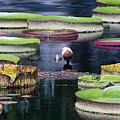 Giant Lily Pads by J Darrell Hutto
