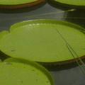 Giant Lily Pads by Sonya Ki Tomlinson