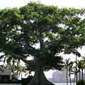 Giant Morton Fig Tree by Diane Merkle