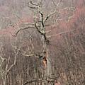 Giant Oak Tree by Carolyn Postelwait