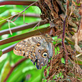 Giant Owl Butterfly  by Jim Thompson