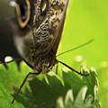 Giant Owl Butterfly Macro by Sue Harper