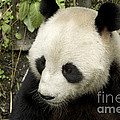 Giant Panda At Rest by Inga Spence