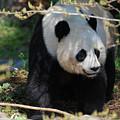 Giant Panda Bear Creeping Under A Tree Branch by DejaVu Designs