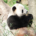 Giant Panda Bear Leaning Against A Tree Trunk Eating Bamboo by DejaVu Designs