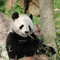 Giant Panda Bear Lounging On Against Tree Trunk by DejaVu Designs