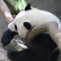 Giant Panda Bear Resting On A Fallen Tree by DejaVu Designs
