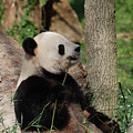 Giant Panda Bear Sitting Up Leaning Against A Tree by DejaVu Designs