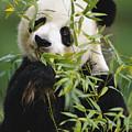 Giant Panda Eating Bamboo by Gerry Ellis
