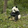 Giant Panda Eating Bamboo by Inga Spence